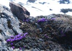 Alpenblume_01.jpg