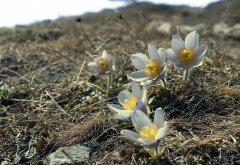 Alpenblume_02.jpg